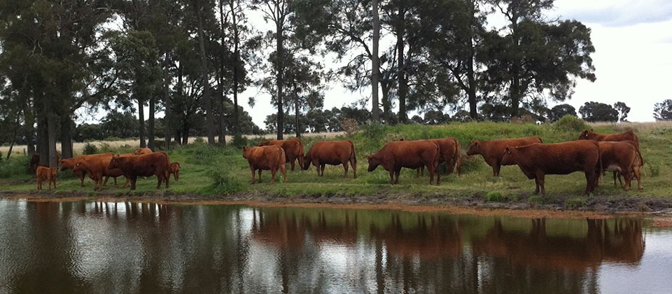 GK-Cows-@-Glenvale-Dam-1